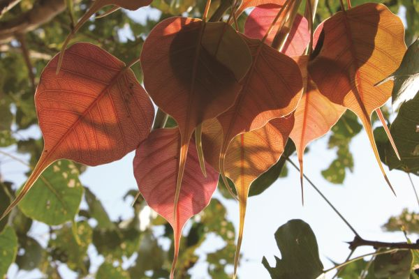 Bodhi Tree Leaves